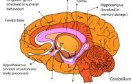 مناطق مغزی مرتبط با حافظه فعال و حافظه بلندمدت