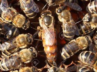 سندرم ملکه زنبور عسل به مشکل همکاری زنان در روابط سلسله مراتبی اشاره دارد